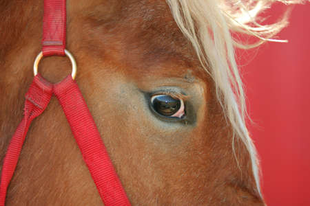 bridle: horse head closeup with red bridle