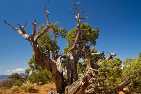 juniper tree: old juniper tree in New Mexico desert landscape