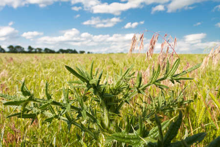 thistle: green thistle in grassy Kansas pasture