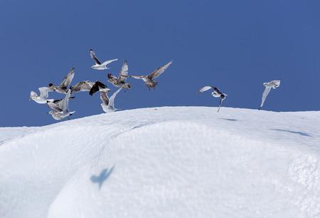frigid: seabirds above iceberg, St  Anthony, Nefoundland Stock Photo