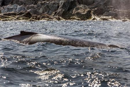 orificio nasal: ballena jorobada, espir�culo y aerosol, St. Anthony, Terranova