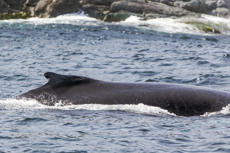 cetacean: humpback whale with scars on skin, St. Anthony, Newfoundland Stock Photo