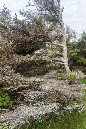 prevailing: flag tree shaped by prevailing winds in Cape Onion, Newfoundland