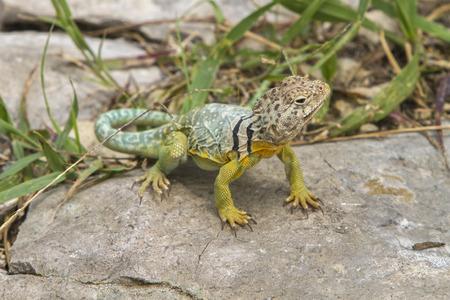 coldblooded: male collared lizard Tallgrass Prairie National Preserve Kansas Stock Photo