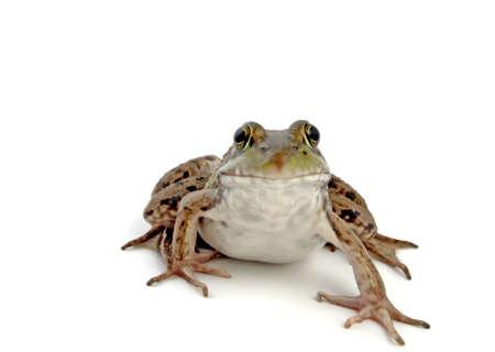 Wood Frog, Rana sylvatica (macro, isolated, 12MP camera).