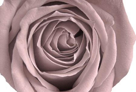 Pale Victorian Rose (14MP camera, isolated,macro). Focus is on the center whorl.