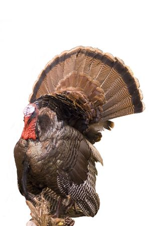 Wild Eastern Turkey tom prepared by taxidermy. 12MP camera, isolated.