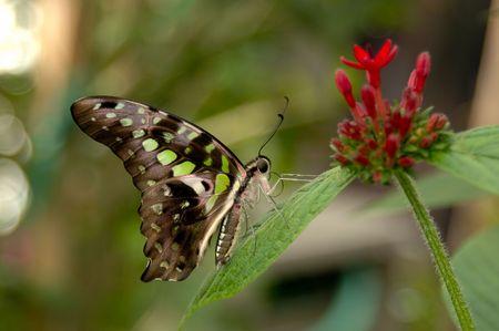 Malachite butterfly (Siproeta stelenes) on Penta plant (Penta lanceolata). Focus = butterfly. 12MP camera.