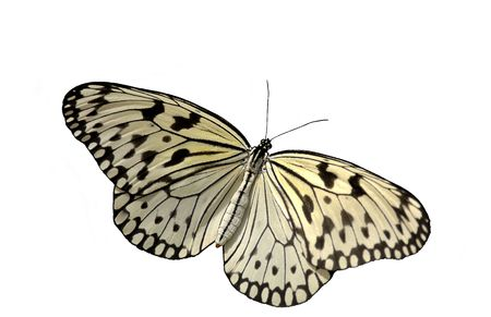 Rice Paper Butterfly ( Idea leuconoe). 12MP camera, super isolation. Focus is on the thorax.