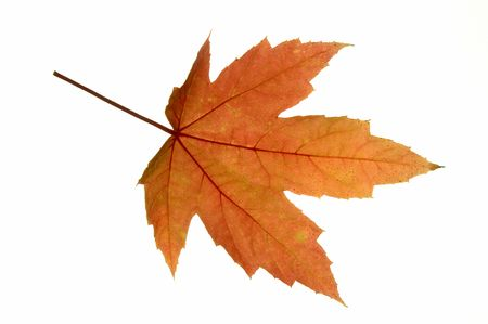 A fresh Red Maple (Acer rubrum) leaf in autumn.  Fall pigments: red, orange = anthocyanin; green = chlorophyll; yellow = carotenoid; brown spots = tannin. 12MP camera, isolated.