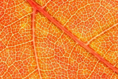carotenoid: Una nueva Red de arce (Acer rubrum) hojas en oto�o. Fall pigmentos: rojo, naranja = antocianinas; = verde clorofila, carotenoides = amarillo; manchas marrones = tanino. 12MP c�mara.
