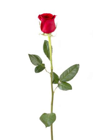 줄기: Isolated long stem red rose bud. Focus = front of rosebud. 12MP camera.