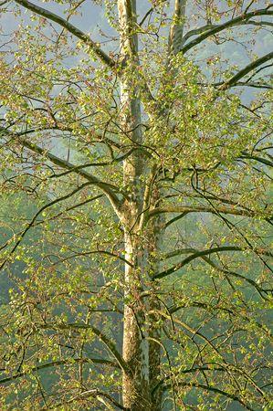 プラタナス: Cades コーブ、テネシー州、米国のロッキー山脈国立公園でアメリカ シカモア ツリー (Plantus ハブソウ)。(12 mp カメラ)