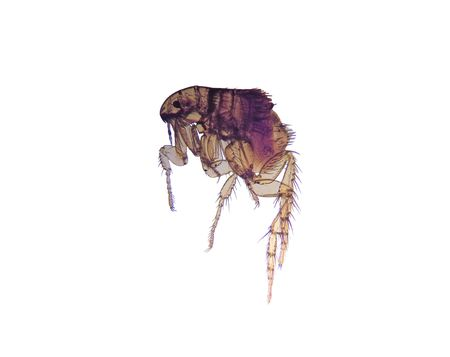 Photomicrograph of the common flea (Ctenocephalides), a vector (carrier) of disease. 14MP camera and microscope. Isolated.