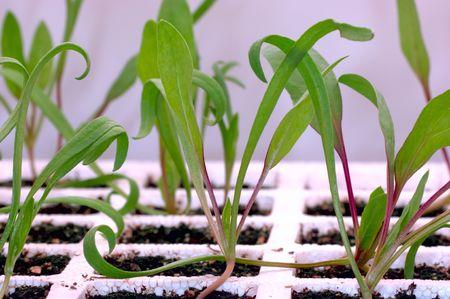 Gardening indoors under fluorescent lights. Focus = the center spinach (Spinacea oleracea) seedling crown. 12MP camera. Macro.
