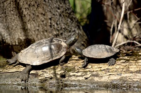 bask: Two painted turtles (Chrysemys picta) bask on a log in Michigan, USA. 12 MP camera.