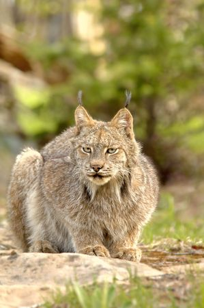A crouching Canadian Lynx (Lynx canadensis) with prominent ear tufts. 12MP camera, taken at a game farm. Focus = the face.