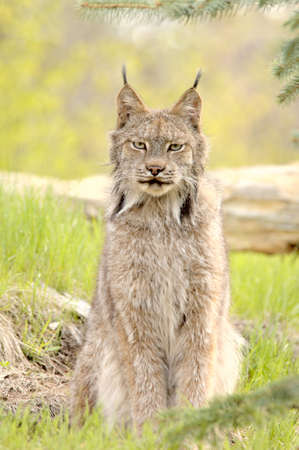 canadensis: A Canadian Lynx (Lynx canadensis) with prominent ear tufts looks straight at the camera. Focus=eyes. 12MP camera, recorded at a game farm.