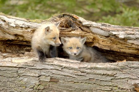 A pair of Red Fox pups (Vulpes vulpes) Focus=pup on the right. Taken at a game farm. 12MP camera. Stock Photo