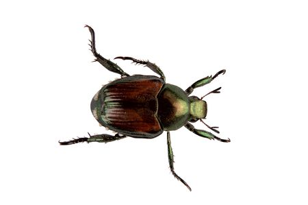 japonica: An adult Japanese Beetle, Popillia japonica, that invaded the United States in 1916. Isolated, 12MP camera. Stock Photo