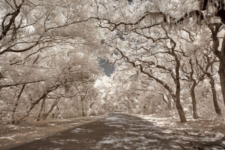 laden: True infrared photo of oak trees (Quercus) laden with Spanish moss on Amelia Island, Florida, USA. Stock Photo