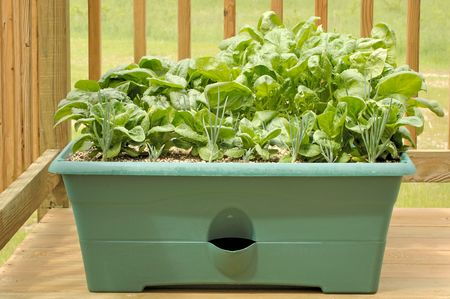 Container garden on a wood deck with shallots, lettuce, and spinach.  Stock Photo
