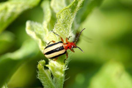 tuberosum: A Three Lined Potato Beetle ( Lema trilineata) rests on a potato leaf (Solanum tuberosum).