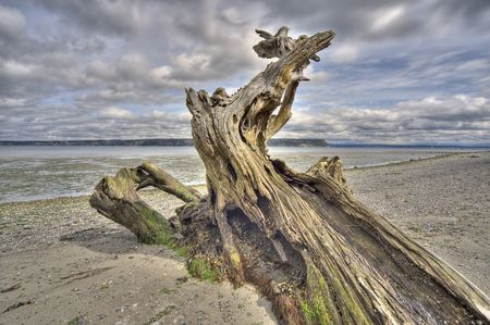 driftwood: Magnificent driftwood specimen at low tide on Whidbey Island, Washington. HDR technique. Overlooks the Saratoga Passage and Camano Island. Stock Photo