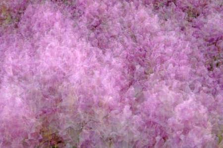 multiple exposure: Unico in-macchina fotografica esposizione multipla colpo di rododendri fiori rosa. (12MP porte chiuse)