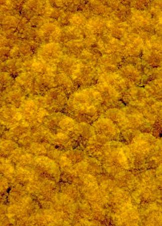 multiple exposure: Arancione marigolds esposizione multipla svolto a porte chiuse. Ad alta risoluzione 12MP fotocamera.  Archivio Fotografico