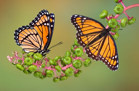 viceroy: Two viceroy butterflies are perched on poke weed.