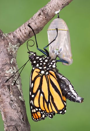A monarch butterfly clings to a chrysalis after emerging.