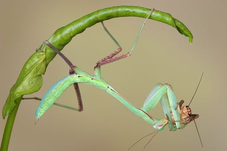 A giant asian mantis nymph is eating a cricket while hanging upside down from a rolled leaf.