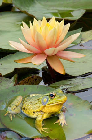 A Bullfrog is sitting on a lily pad. Stock Photo