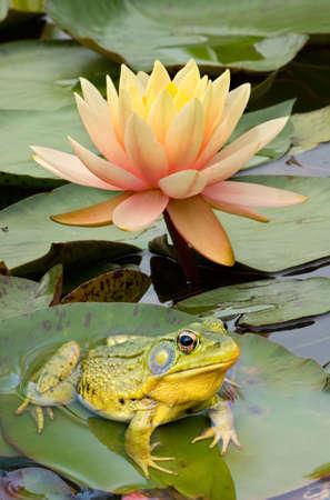 sapo: Un Bullfrog est� sentado sobre una almohadilla de lirio.