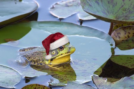 christmas frog: A bullfrog is sitting on a lily pad wearing a santa hat.