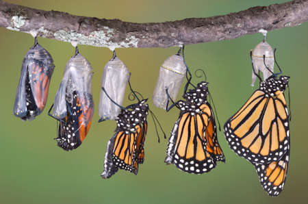 A composite of various views of a monarch emerging from its chrysalis.