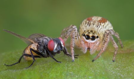 A jumping spider is siiting very close to its prey -- a fly. Stock Photo