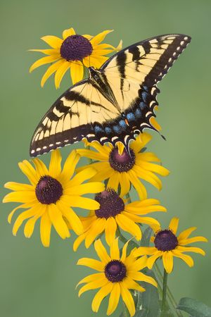 A swallowtail butterfly landed on some black-eyed susan flowers.