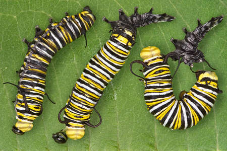 put together: Three views are put together of a monarch caterpillar shedding its skin. After shedding, it eats its shed skin.