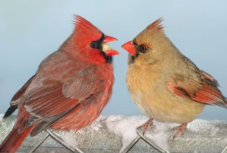 A male cardinal is offering a female cardinal his food.