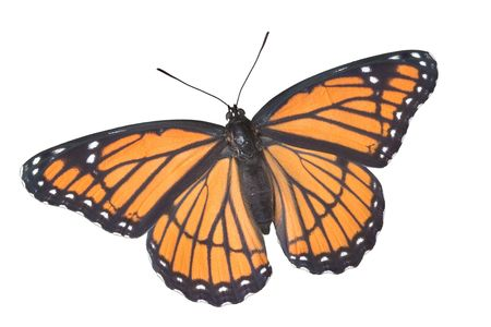 A viceroy butterfly with wings open is shown on a white background. Stock Photo
