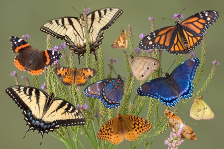 A group of 10 different kinds of butterflies are on a plant. Includes tiger swallowtails; painted lady; pearly crescentspot; long dash skipper; aphrodite fritillary; red-spotted purples; little wood satyrs; monarch; pink edged sulfur Stock Photo