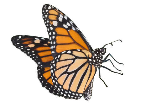 A monarch in flight is on a white background.