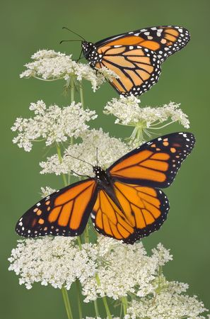 Two monarchs are perched on queen anns lace. The lower monarch is a male which is indicated by the two black spots on the lower wings. Stock Photo - 2320430