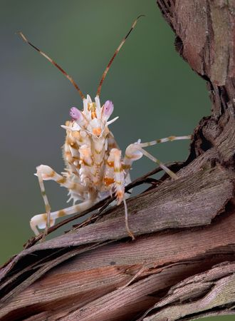 A spiny flower mantis is sitting on a vine.