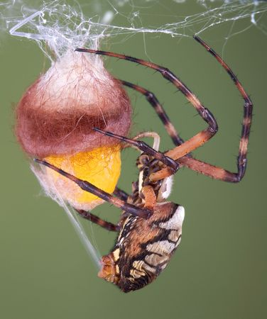 arachnophobia animal bite: An argiope spider has laid her eggs and is wrapping them in silk. Stock Photo