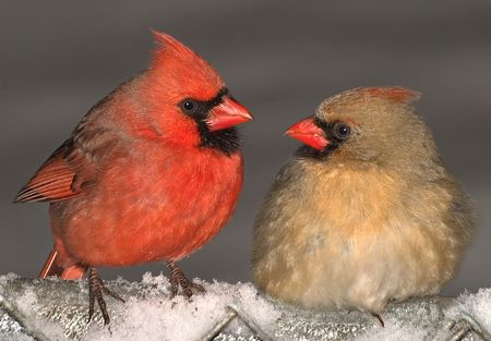 female cardinal: A male and female cardinal are making eyes at each other.