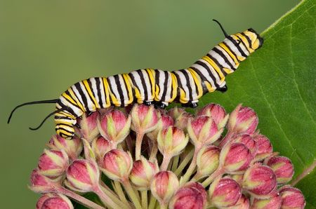 A monarch caterpillar is crawling over milkweed blossoms.