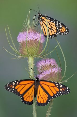 Two monarchs are sitting on a teasel plant.